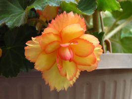 Yellow Begonia with Orange Boarder by Kitteh-Pawz