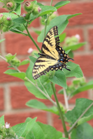 Eastern Tiger Swallowtail 4 by Gerryanimator