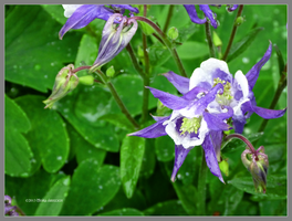 Columbine after the rain by Mogrianne