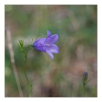 Bluebell 2 by Cathorse