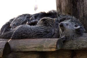 Bearcat Nap by robbobert