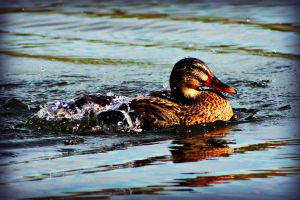 Duck II by tere-fere-qq