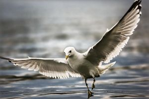Larus canus by sampok