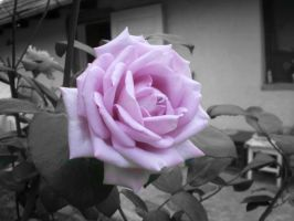 Rose by Mila4
