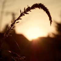 Corn and Sunset by NorbertKocsis