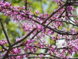pink blossoms by Photoartistic26