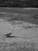 Grey heron by Soenanda