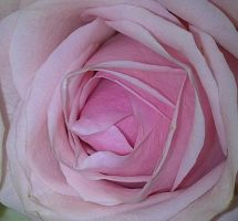 Pink Rose 3 by FadingShade