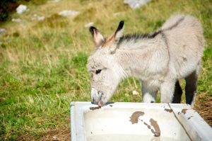 Giacomo the donkey by sys66