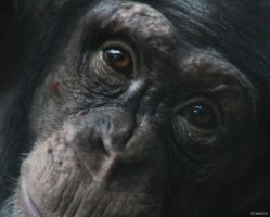 Chimpanzee 5 by Globaludodesign