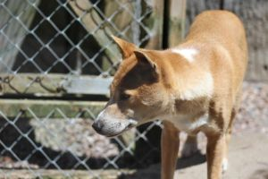 New Guinea Singing Dog 2 by lucky128stocks