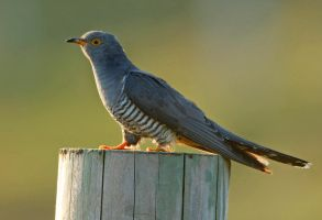 Morning Cuckoo by Jamie-MacArthur