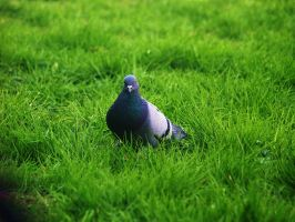 pigeon by Vrbize
