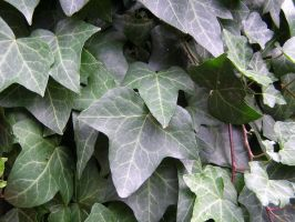 Ivy-drip... by chop-stock