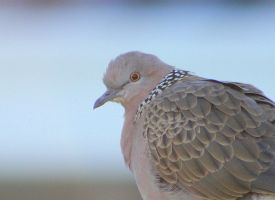 Spotted turtle dove by Tamamantix