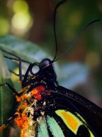 Cairns Birdwing by hollybambam
