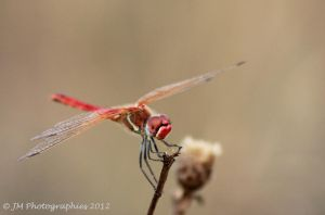 Red dragonfly by Sex-Toy