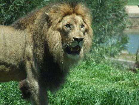 Lion Male - up close 3 by dtf-stock