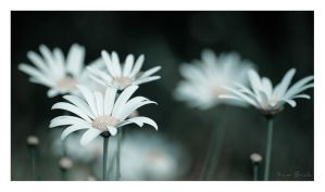 Daisies II by Sembre