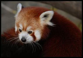red panda by morho