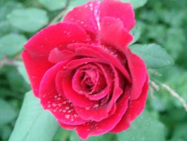 Dew Rose 1 by bornahorse
