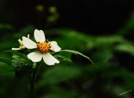 White flower by cathyss02