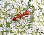 Ant on Queen Anne's lace by catshere