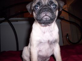 Pheer The PUG V2 by 7thsign