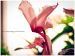 Cyclamen_02 by catamenia6