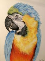 pastel drawing. Macaw parrot by donnabe