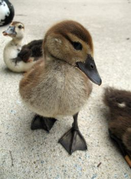 Sized Up by waterfowl