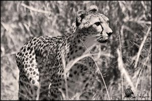 Cheetah B+W by Mkatpro11