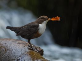 Dipper with nesting material by Jamie-MacArthur