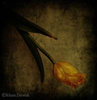 Tulip by Riham-Darwish