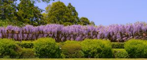 Wisteria in the art museum IV by larksgar