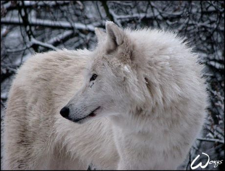 Winter dream of arctic wolf by woxys