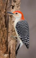 Male Redbelly woodpecker by DGAnder