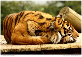 Sleeping Tigress by In-the-picture