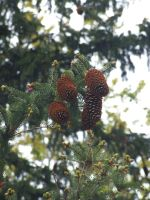Pine Cone Up High by carbyville