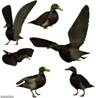 Mallard png stock by Direwrath