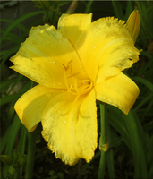 Day Lily by WDWParksGal