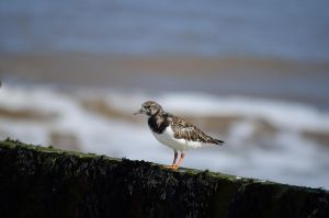 TURNSTONE by major-holdups