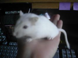 This is Snow, my gerbil by WhiteBlueWerecat