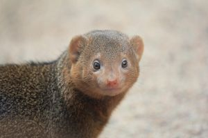 Dwarf mongoose by Nuuhku87