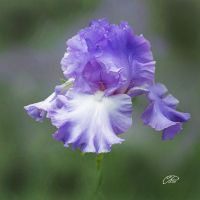 IRIS. by BELLESYMPHORINE