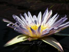 . . .Waterlily. . . by siannajmj