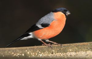 Can't beat a bit of Bully - Bullfinch (male) by Jamie-MacArthur