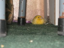 My Canary .. by Emane1983