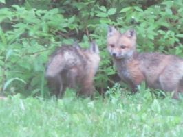 Baby Foxes, So cute :3 by Turvy-topsy