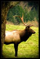 Elk: Broken Antler by Flame-of-the-Phoenix